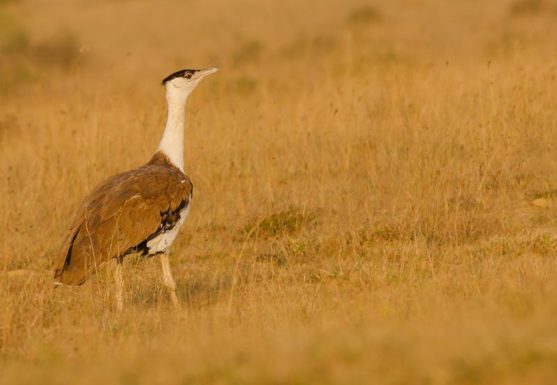 MNRE Asks Wind Developers to Ensure Safety of Great Indian Bustard