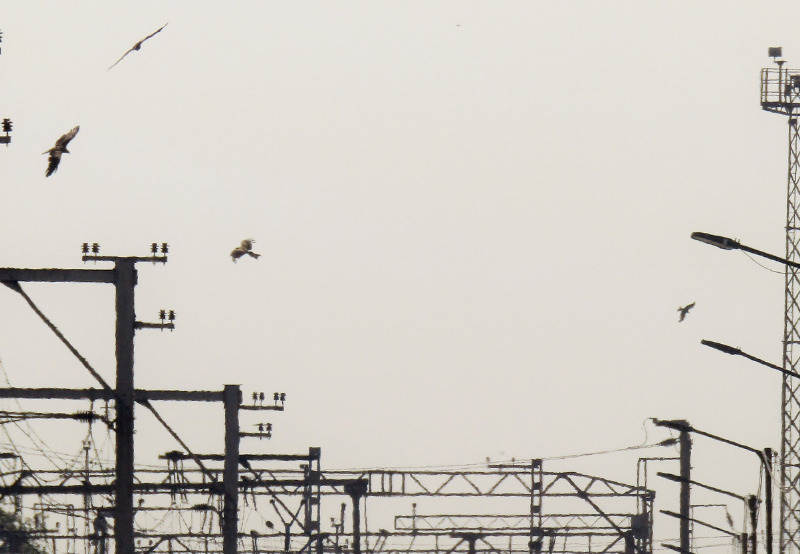 Overhead Powerlines Directed to be Taken Underground to Save the Great Indian Bustard